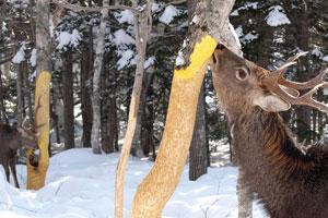 キハダの樹皮を食べるエゾシカ