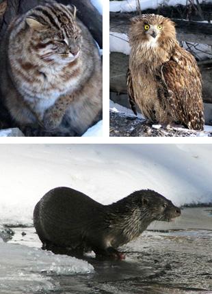 ヤマネコ(左上)、のほか知床にもいるシマフクロウ(右上)、日本では絶滅してしまったカワウソ(下)なども生息している。