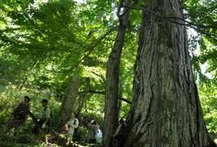 カツラの大木が育つ森