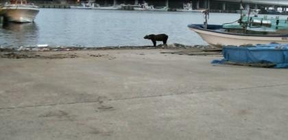 羅臼漁港内ヒグマ