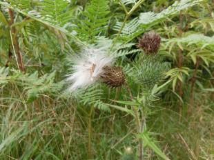 オニアザミ種子