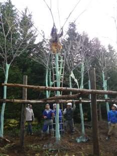 シカに樹皮を食べられないように、高さ3.5m以上まで樹皮保護ネットを巻いてから移植します。