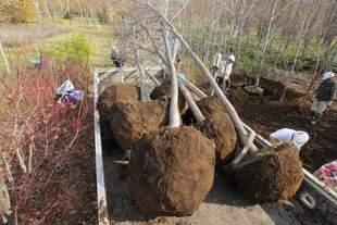 掘り取ったハルニレとミズナラの苗。ほれぼれするような美しい鉢の形をしています。