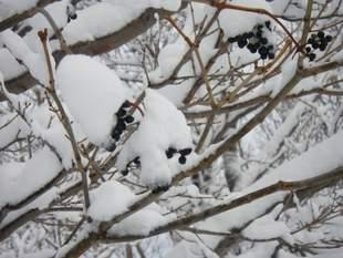 今年豊作だった、キハダの実。まだたくさん枝先に残っていました。冬ごもりしない動物たちにとって、貴重なエサ資源です。
