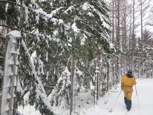歩くスキーで巡視する様子。踏み固まるとシカが侵入しやすいので、柵のすぐ脇を歩かないのが基本です。