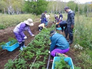 山採りしたトドマツは、しばらく苗畑で養生するため、苗床(苗のお布団)に植樹します。