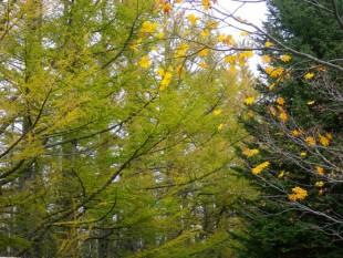 カラマツの黄葉。これからさらに黄金に輝きます。