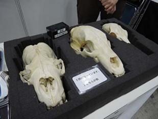 トランクキットの頭骨