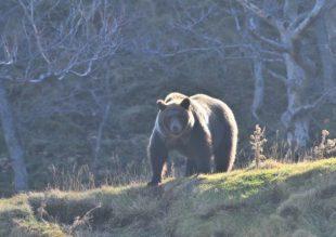 森を闊歩するオスグマ