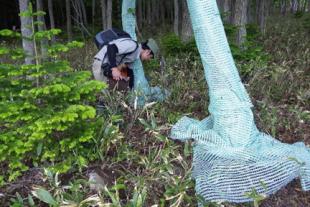 特殊なネットを巻いてエゾシカの被食から樹木を守る
