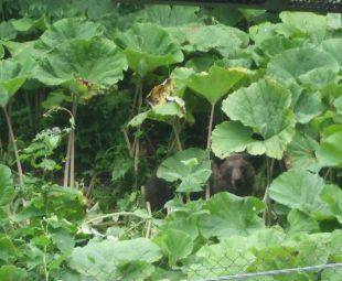 背の高い藪はヒグマが身を隠しやすく、好んで利用する場所となっている.住宅など人の生活圏のすぐそばにあると、ヒグマと近い距離で会う危険性も増えてしまう