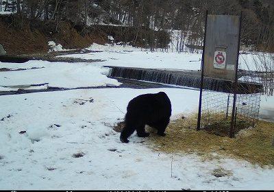 冬眠から明けたヒグマの姿を初確認