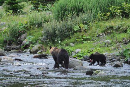 母クマを捕殺された0歳ヒグマのその後