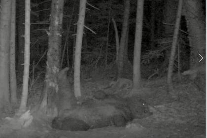 おやすみヒグマ~野生のヒグマの睡眠とは~