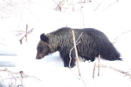 2021年3月19日冬眠から明けたヒグマの姿を確認